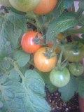 0806-tomato.jpg